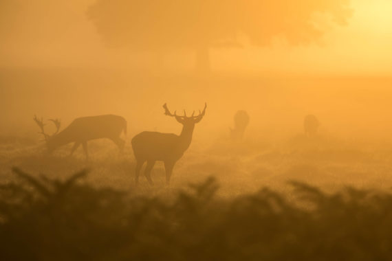 Stags in the mist
